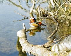 sunbathing (lichtauf35) Tags: mandarin duck canon powershot g7x animals isartal sunbathing lightroom acdsee 2000views lichtauf35