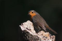 Badass (Luis-Gaspar) Tags: animal bird passaro ave pisco piscodepeitoruivo robin europeanrobin erithacusrubecula portugal arrabida parquedoalambre nikon d60 55300 f56 11600 iso400