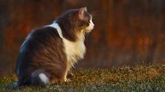 The 'Naybars' Moggy (Bob's Digital Eye) Tags: animal bobsdigitaleye canon canonefs55250mmf456isstm cat depthoffield flickr outdoor portrait t3i flicker