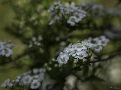 Spring (Oly User) Tags: 40150mm128pro april2017 blumen blã¼ten frã¼hling omdem5markii olympus thomasmeinersmann blüten frühling macrounlimited