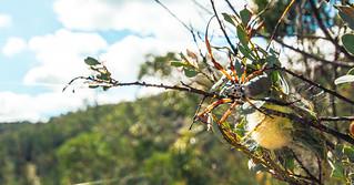 Australian Orb Weaver