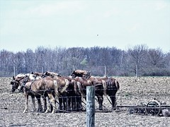 9 horse power (Lana Pahl / Country Star Images) Tags: amishcountry ohioamish horsephotography