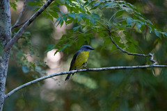 Yellow Robin (Byron Taylor) Tags: kingparrot parrot yellowrobin birds wildlife nature australia dural duralnaturereserve naturereserve canon canon7d