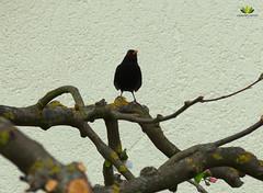 Amsel (Argentarius85) Tags: turdusmerula amsel nikond5300 vogel bird animal tier sigma105mmf28exdgoshsm