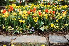 Durham, NC (Dan | Hacker | Photography) Tags: dukegardens spring mastinlabs kodakportra160 flowers garden bloom pushedfilm