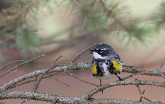 Immigrant (Jeannine St. Amour) Tags: bird warbler yellowrumpedwarbler nature wildlife migration ottawa spring