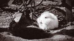 Sweet Fluffball in Contrast - Wildpark Pforzheim, Germany (Sebastian Bayer) Tags: hase maschinen olympus deutschland monochrom sonne wildpark ausflug kontrast natur geräte metall erde drausen pforzheim süs frühling omdem5ii 4015028 säugetier weiserhase omd teiltonung tier klein mc14 boden badenwürttemberg de ostern