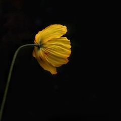 Jagged edge (Nige H (Thanks for 8m views)) Tags: nature flower yellow black onblack jaggededge petals