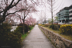 Kamo River, Kyoto (Polymath & Quixotic) Tags: kyoto japan spring sakura cherryblossoms 2017 pagoda temple kimono photoshoot river pontocho gion shirakawa maruyamapark streets doves traditional culture