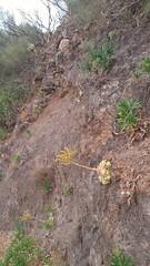 Greenovia dodrentalis and Aeonium urbicum, Masca road, Tenerife