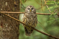 _30A3715 (Confusion_Circle) Tags: barred park owl ladner