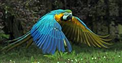 Blauwgele ara Blijdorp BB2A1689 (j.a.kok) Tags: ara macaw blauwgeleara papagaai blijdorp vogel bird zuidamerika southamerica