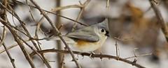 Beautiful Tufted Titmouse (showmesavings) Tags: tuftedtitmouse bird forest snow missouri saintlouis tree nature