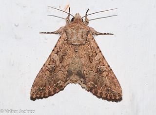Borboleta Noturna // Nutmeg (Anarta trifolii)