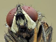 nur ne fliege..... (pen3.de) Tags: penf 60mmmakro tier insekt fliege fliegenportrait facettenaugen freistellung focusbkt rote augen facetten wiese haarig beine natur naturlicht wildlife tautropfen morgentau