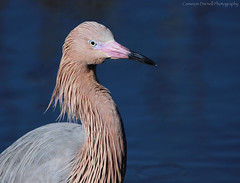 Reddish Egret (Cameron Darnell) Tags: egret wader bird florida reddish headshot avian fine art water droplet birding ornithology feathered feathers beak pink gray aves animalia animals us birds red bill cameron darnell