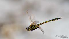 Dragonfly (Cathy Cates (aka CrafteeCC)) Tags: australia dragonfly lakebonney southaustralia