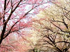 Cherry tree blossom in Tokyo (Digidoc2) Tags: cherryblossom cherrytrees tokyo japan cherry delicate blossom tree pink beautiful flowers
