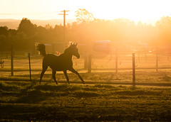 Horseplay (Wanda Amos@Old Bar) Tags: autumn wandaamos farm fences frollicking galloping horse light silhouette sunset