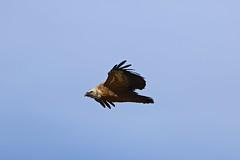 Anglų lietuvių žodynas. Žodis griffon vulture reiškia grifas lietuviškai.