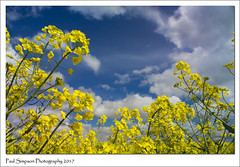 Looking up to the blue sky (Paul Simpson Photography) Tags: oilseed oilseedrape rapeseedoil yellowfield bluesky april2017 nature sonya77 paulsimpsonphotography naturalworld farming imagsof imageof photosof photoof england clouds agriculture farmland sunnyday sunnyweather photography crops lincolnshire