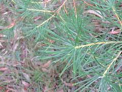 Banksia spinulosa var spinulosa 1 (barryaceae) Tags: booderee avenue hyams beach jervis bay national park nsw australia aushp heath plant ausheathplant