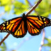Monarch Butterfly (Josh Han) Tags: review