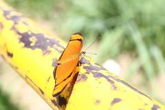 Borboleta bairro São João JM - Wir Caetano - 26 04 2017 (27) (dabliê texto imagem - Comunicação Visual e Jorn) Tags: borboleta inseto amarelo escada ferrugem