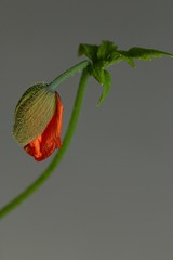 Poppin' out (AngharadW) Tags: stem sepal petal flower angharadw macro green orange poppy