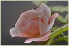 Rose antiche (lucio 1966) Tags: rosaantica rose macro natura flowerwatcher