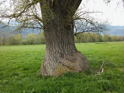 Salix sp. 20170426_175416