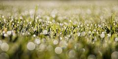A ras du sol (Bruno MATHIOT) Tags: herbe planet plant plante eos canon 760d sigma 105 macro nature outdoor bubble bokeh vert green
