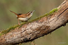 Carolina Wren on a log (Earl Reinink) Tags: bird animal migration spring earl reinink earlreinink nikon niagara wren carolinawren zeuaiuhdia