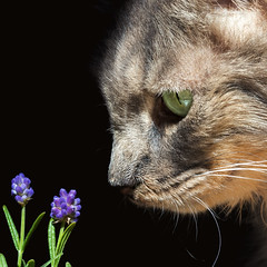 A watched lavender never grows (FocusPocus Photography) Tags: fynn fynnegan katze kater cat chat gato tier animal haustier pet lavendel lavender pflanze plant
