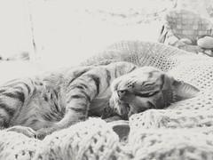 Sleeping / Durmiendo (LUiS AFB) Tags: gato cat bw blanco negro white black pet mascota sleeping durmiendo house casa