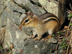Petit suisse -- Little chipmunk (Gilles Gonthier) Tags: canada nature animal mammal rodent chipmunk qubec rodentia mammifre tamia tamiasstriatus sciuridae rongeur easternchipmunk petitsuisse canonpowershotg7 tamiaray gillesgonthier 052013 ggg7154262013