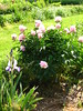 Peony 'Raspberry Sorbet' (christmasnotebook) Tags: iris garden spring peonies femininefire christmasnotebookcom