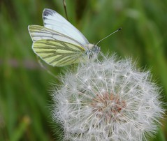 Brecon Butterfly (Taracy) Tags: white green butterfly breconbeacons brecon talybont veined breconbeaconsnationalpark