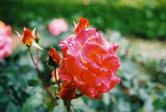 Rose with raindrops (YasukiF) Tags: rose al with pentax superia 400 raindrops fujifilm f18 limited smc lx xtra 31mm pentaxfa
