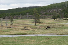 Lonely Bison (sprout2008) Tags: yellowstone tetons
