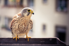 male kestrel (Dennis_F) Tags: urban flower male window nest box fenster brten stadt falcon mann breed kestrel vogel schnabel flowerbox falke blumenkasten mnnchen turmfalke nisten
