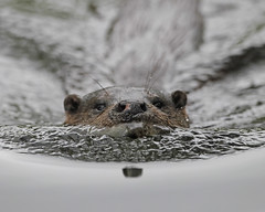 Otter (Robert Horne Wildlife Photography) Tags: norfolk otter lutralutra