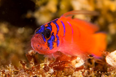 bbgobyJun6-13 (divindk) Tags: ocean fish color cute marine underwater diving catalinaisland scubadiving reef channelislands avalon underwaterphotography bluebandedgoby lythrypnusdalli catalinagoby californiaunderwater californiascubadiving diverdoug avalondivepark