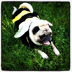 Pug-bee (hurgrace) Tags: dog pet square costume lofi pug squareformat iphoneography instagramapp uploaded:by=instagram