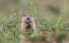 Sisluk - European Ground Squirrel