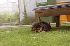 Welpenshooting Maylo & Flinn (David Schiersner) Tags: dog dogs canon eos 50mm jung hund ii shooting f18 dslr ef hunde welpen 2013 1100d