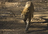 Leopard (susan yeomans) Tags: africa cat canon mammal feline wildlife safari leopard bigcat 7d namibia etosha etoshanationalpark canon7d mygearandme mygearandmepremium mygearandmebronze dursternbrook