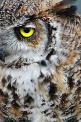 eagle owl (lesage1981) Tags: bird nature birds canon eos eyes display wildlife feathers owl perch aviary mersey birdofprey wirral meols 450d