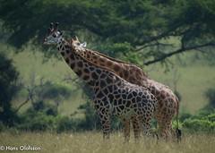 Giraffe, Murchinson Falls, Uganda (Hans Olofsson) Tags: africa nature natur afrika giraffe uganda giraff giraffacameloparadalis murchinsonsfall