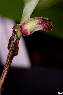 The mystery orchid bud